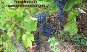 О сорте винограда «Памяти Домбковской»