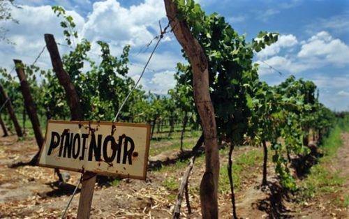 Виноградник в Франции