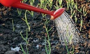 Как и чем поливать чеснок весной