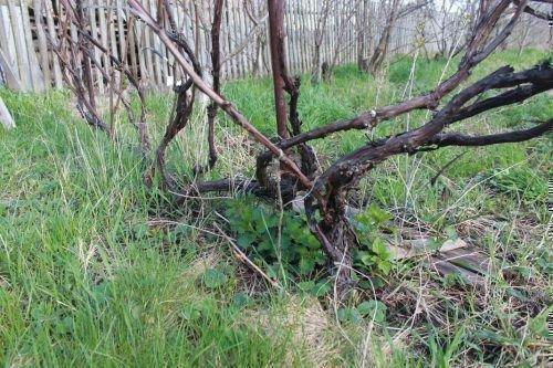 Погибший куст винограда