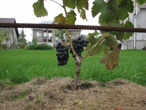 Сигнальные грозди