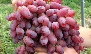 Ризамат: описание, посадка и уход сорта винограда