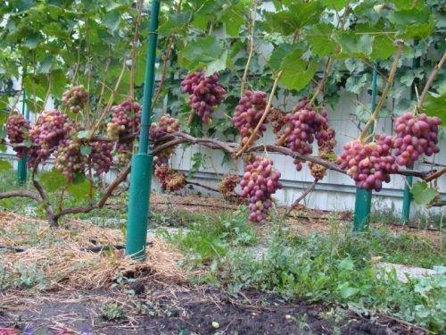 Урожайность Ризамата