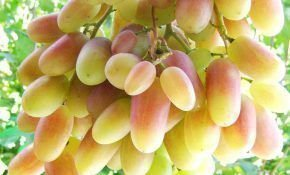 Шахерезада — столовая форма винограда. Особенности сорта