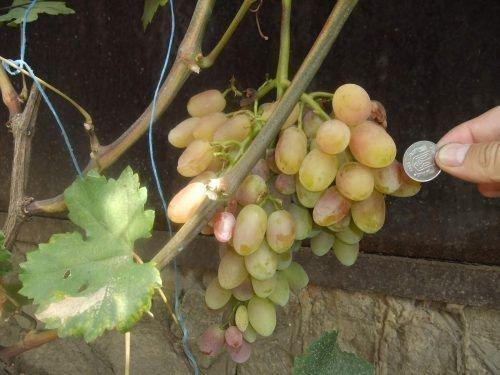 Шахерезада - гроздь