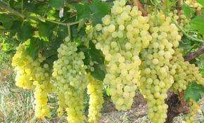 Характеристика сортов винограда Шасла