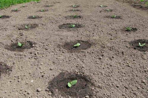 Схема высадки тыквы