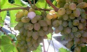 О винограде Элегант