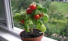 Правила выращивания помидоров в домашних условиях на подоконнике