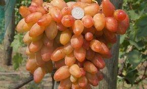 Бурдак: характеристика его сортов винограда
