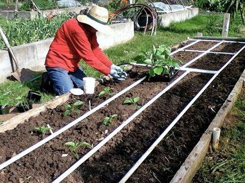 Выращивание баклажанов на открытом грунте