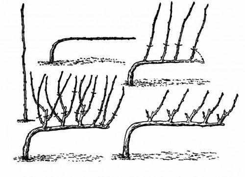 Формирование куста винограда штамбовым методом