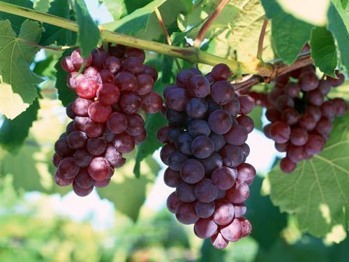 Гроздья винограда Ширвиндта