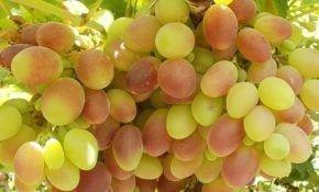 Сладкий и сочный виноград, которому более 7000 лет — это Тайфи