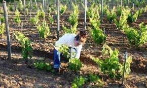 Ухаживаем за виноградом после зимы