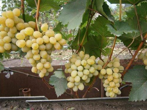 Лоза винограда Феномен