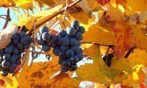 Когда и чем можно подкормить виноград осенью