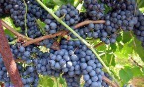 Регент — лучший сорт винограда для вина