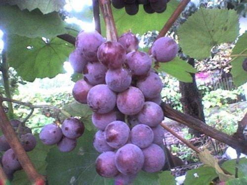 Первая гроздь