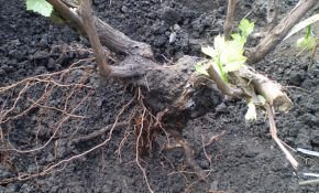 Особенности пересадки винограда осенью