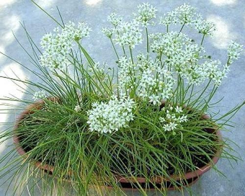 Выращивание в вазоне
