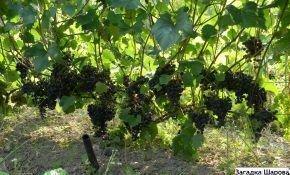 Виноградные сорта Шарова: Загадка и Подарок
