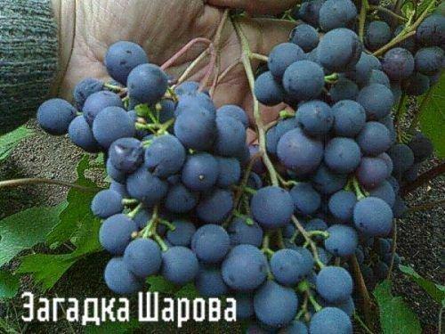 Загазка Шарова