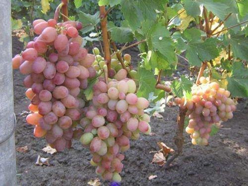 Амирхан виноград