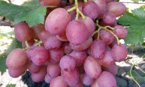 Особенности винограда сорта Амирхан