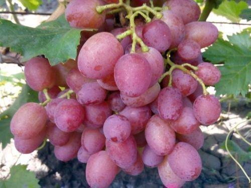 Винограда Амирхан