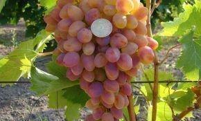 Особенности винограда сорта Арочный