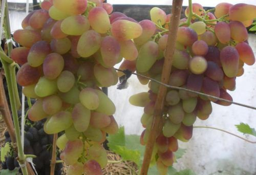 Виноград Арочный противопоказания