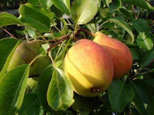 Плоды сорта Августовская роса