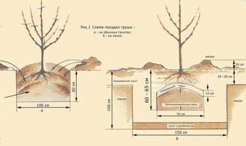 Схема посадки груш