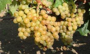 Сорт винограда белый мускатный – обзор с описанием и фото