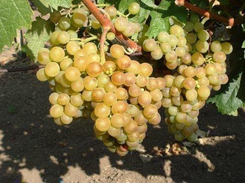 Виноград белый мускатный