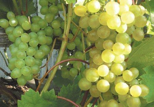 Виноград сорта Белый Мускат Шатилова