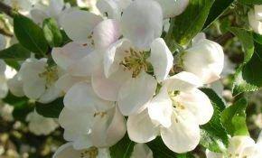 Почему груша не цветет, и на ней нет плодов