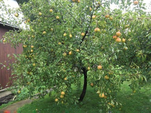 Дерево 5-ти лет с урожаем
