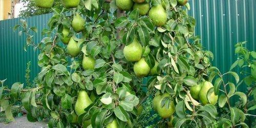 Плоды сорта на дереве