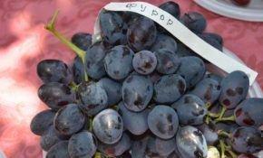 Характеристика винограда Фурор