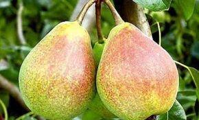 Груши Берта, описание вкуса которых напоминает дыни