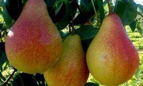 Вильямс — хороший сорт десертных груш, пригодный для переработки