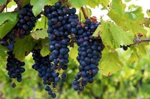 Cорт винограда Изабелла