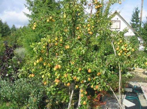 Дерево груши сорта Лесная красавица