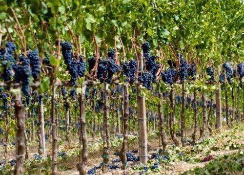 Виноград Ливадийский