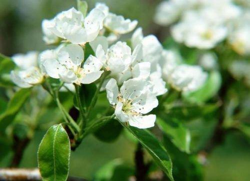 Цвет Любимицы Клаппа