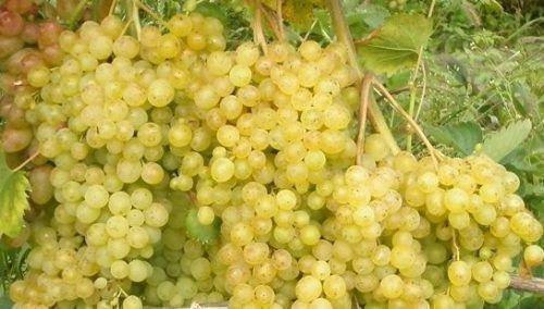 Сверхранний виноград мускатный белый