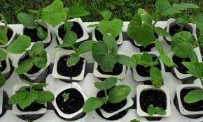 Как отличить рассаду кабачков и тыквы разного возраста по внешнему виду?