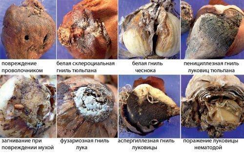 Основные заболевания чеснока